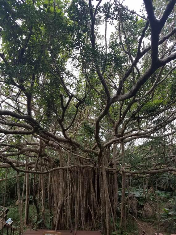 沖縄の大石林山のガジュマル