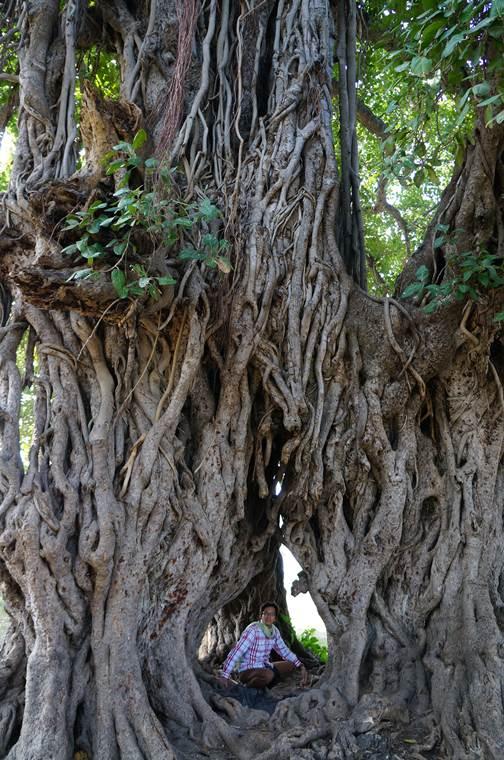 スジャータ村 ガジュマルの樹3