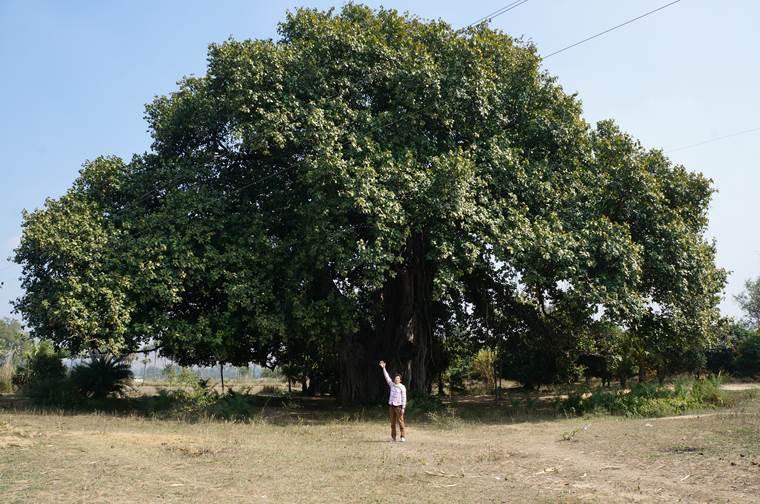 トトロの樹 ガジュマルの樹