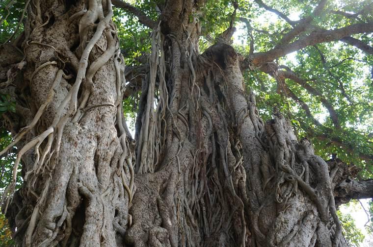 トトロの樹3